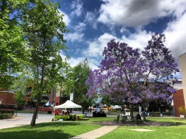 Jacaranda season at Cal State LA